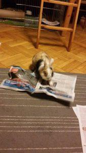 Profesor Mynks podczas czytania porannej gazety (fot. by Alina)